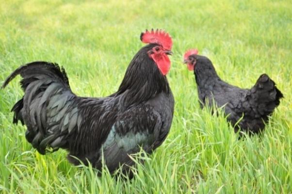 AldIğı Tavuklar Sayesinde Hayatı Değişti