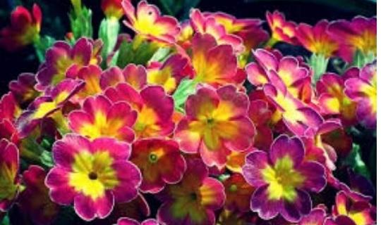 Çuha Çiçeği Yağının İnanılmaz Faydaları