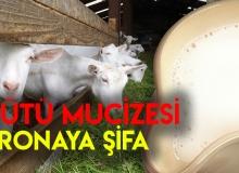 Keçi Sütü Koronaya İyi Gelir Mi?