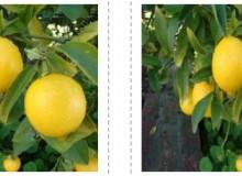 En İyi Yediveren Limon Fidanı Fiyatları Şimdi Rüzgar Botanik'de!