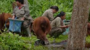 koronavirüse Karşı El Yıkama Dersi Orangutan Cinta'dan